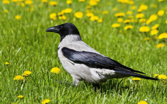 ворона, вороны, мужской