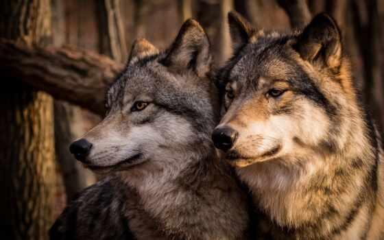друг, тебя, меня, бросок, знать, волк