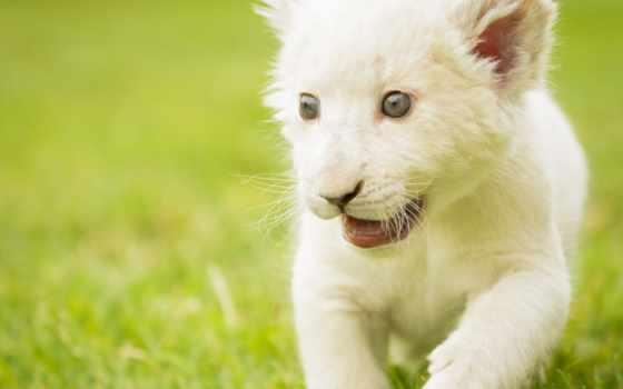 lion, white, кот