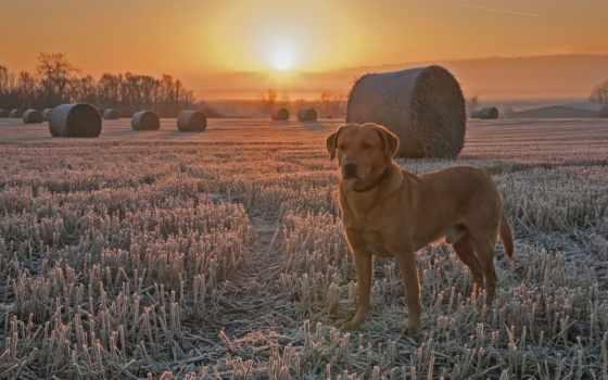 поле, собака, закат, жнивьё, иней, природа, друг, animal, landscape,