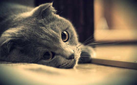 кот, british, свет, широкоформатные, британец, серый, котэ,