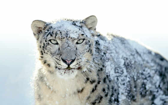 white, гепард, леопард, снег, zhivotnye, тигр,