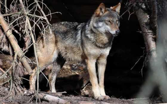 большого, разрешения, волк, часть, монитор, украшения,