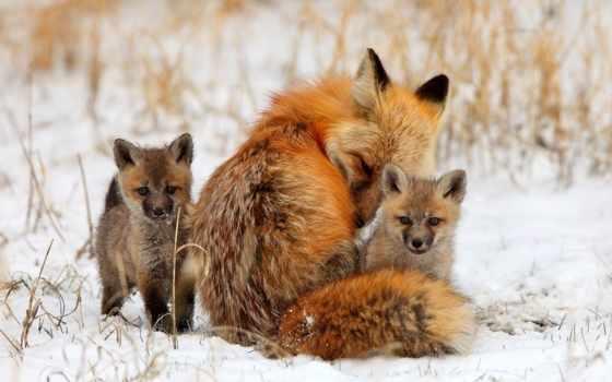 лесу, семья, лисья, лисы, children, артемова, лисята, яndex,