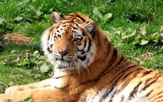 тигры, животные Фон № 19412 разрешение 1920x1200