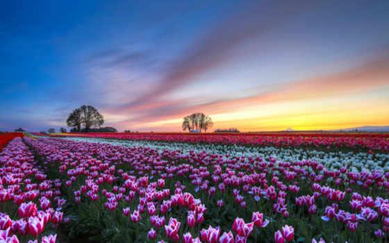 тюльпаны, тюльпанов, нидерланды
