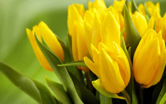 cvety, желтые, тюльпаны