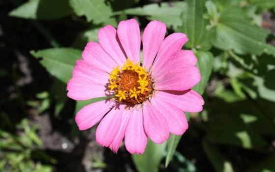 roza, цветок, лепестки