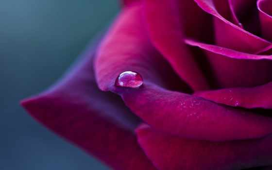 капли, росы, капелька, лепестке, drop, розы, waters, макро, роза, цветы, цветке,