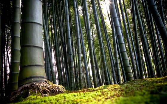 бамбук, japanese, лес, бамбуковые, kyoto, зелёный, бамбука,