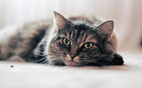 кот, striped, кошки, качественные, лежит,