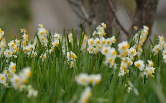 цветы, white, free, permission, фон, цветение, cvety, kartinik, tuberose