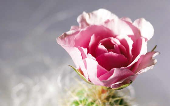 розы, роза