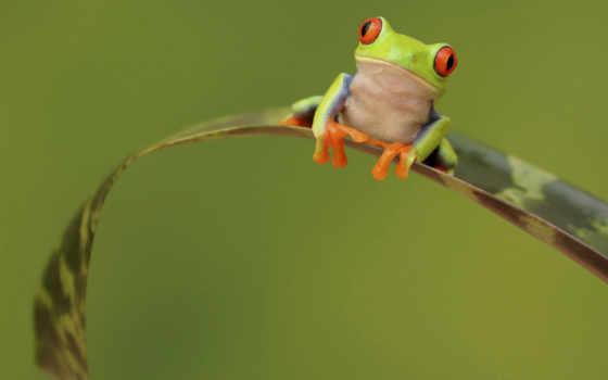 tapety, żaba, zielona, żabka, rzekotka, pulpit, zwierzęta,