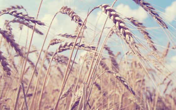 пшеница, desktop, mac, ферма,