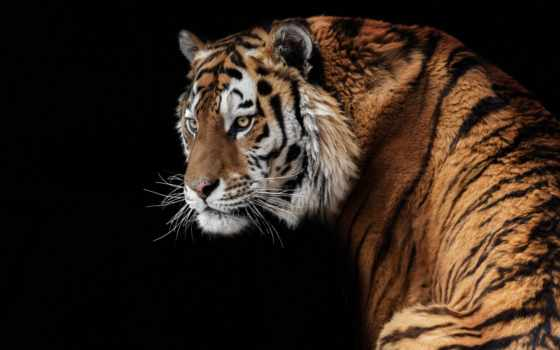 тигр, zhivotnye, олег, фото,