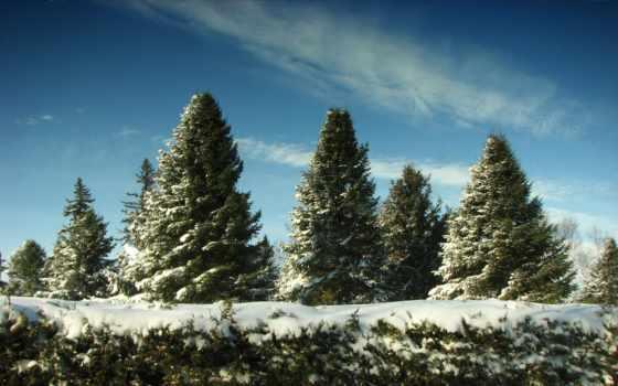 елки, снег, winter