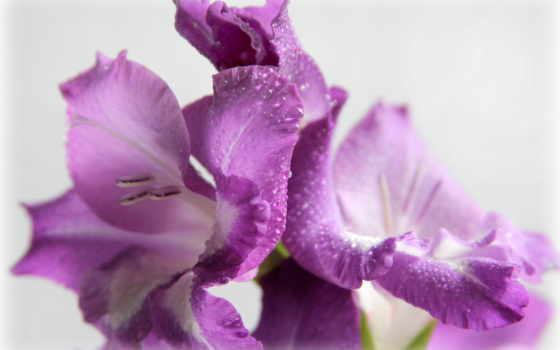 цветы, гладиолусы, фиолетовый