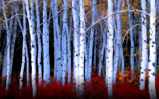 breza, tapety, stromy, strom, príroda, pozadia, je, obrazy, береза, ako,