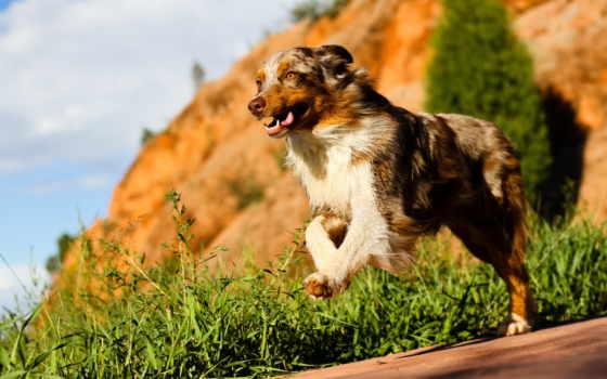 овчарка, australian, animals, изображение, dogs, desktop, free, фото,
