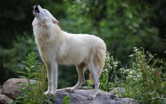 волк, white, хищник