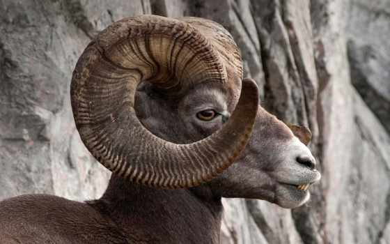 sheep, bighorn, гора
