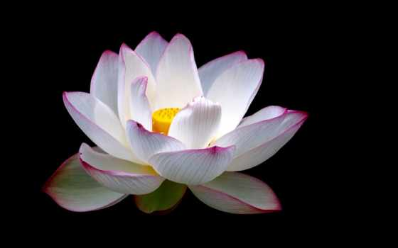 fondo, pantalla, rosa, flores, fondos, color, negro, primer, plano, lotus,