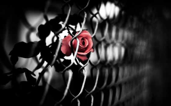 роза, красная, эмблема