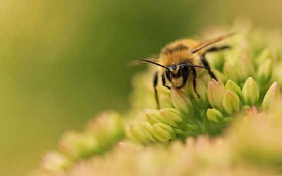 животных, насекомые, пчелы
