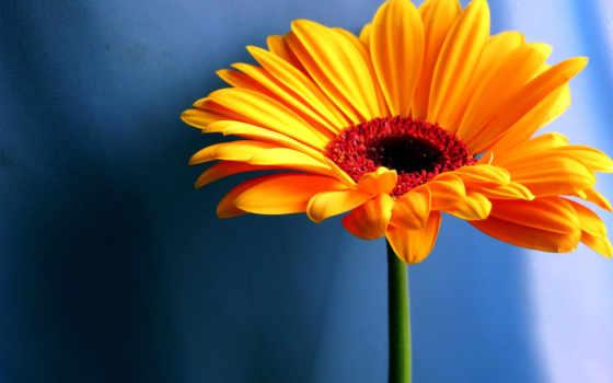 герберы, gerbera, цветы,