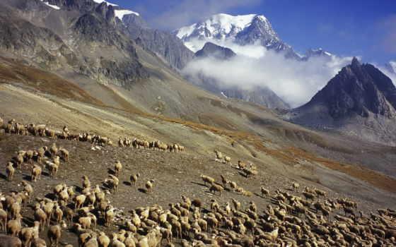 sheep, овцы, франция, italy, border, mount, blanc, grazing, images,