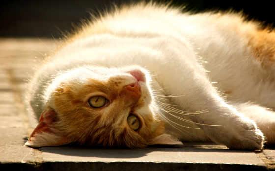 кот, кис, кошки, бело, мяу, тюлень, лежит, вконтакте, torode, benjamin,