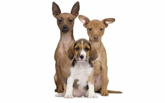 белом, fone, стоковое, portrait, children, собака, против, white,