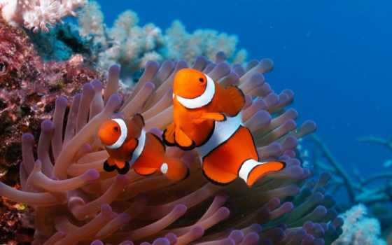 риф, море, fish, клоун, coral, android, anemone,