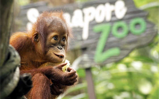 zhivotnye, обезьяны, обезьяна, planet, обезьян, primates, широкоформатные, высокого, качества,