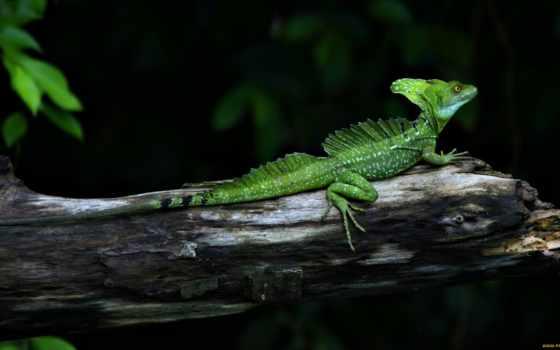 ящер, reptile, basilisk, chameleon, дереве, картинка,