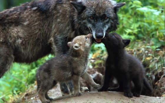 волков, волки, красивые, волк, волка, фотографий, лис, фотоохота,