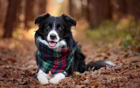 border, колли, pes, осень, собака, animal, tapety,