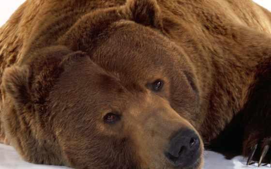 медведи, бурый, медведь