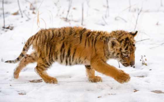 животных, приморье, края, приморского, тигренка, новости, янв, приморья, тигры, хорошие, специалисты,