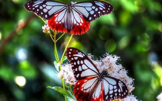 бабочки, бабочка, две, красивых, цветке, красивые, fone, blue, размытом, природа, flowers,