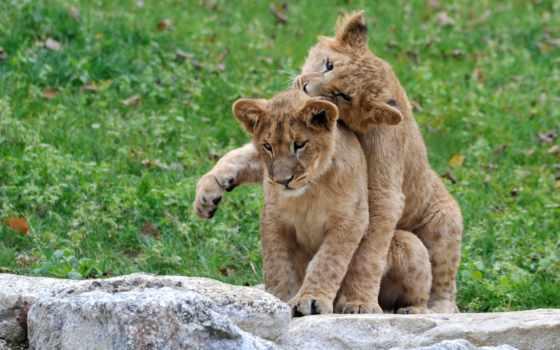 wildcat, кот,