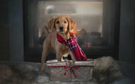 собака, золотистый, порода, retriever