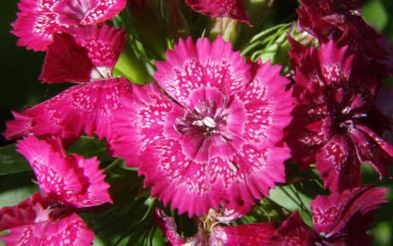 цветок, красный, лето, маленькие, гвоздика, яркие, гвоздики, flowers,