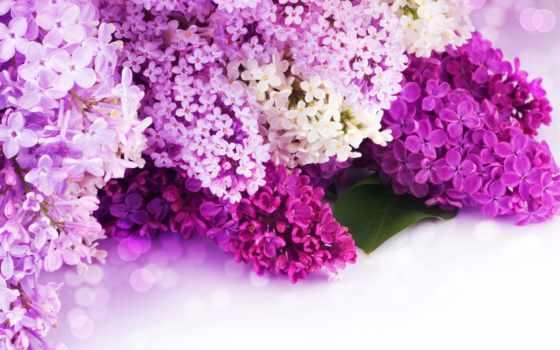 сиреневый, цветы