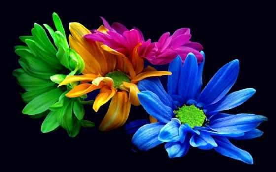 цветы, fone, черном, разноцветные, хризантемы,