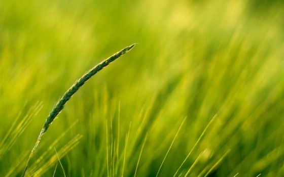 природа, поле, plants, трава, closeup, пшеница, серьги,