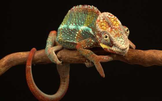 reptiles, chameleon, ящер, фон, reptile, branch, widescreen, definition, high, красивые,