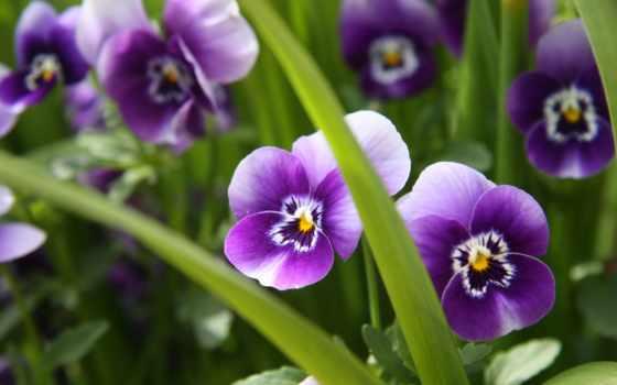 глазки, анютины, cvety, макро, фиолетовые, зелёный,