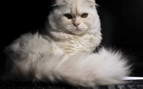 кот, шотландская, вислоухая, фолд, скоттиш, scottish, взгляд, морда, tail,